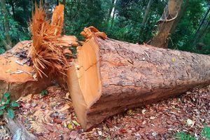 Vụ gỗ 'khủng' bị đốn hạ ở Kon Tum: Đã tìm thấy hơn 8,3m³ gỗ