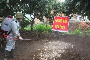 Xuất hiện ổ dịch tả lợn châu Phi đầu tiên tại Quảng Ninh