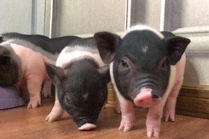 'Mốt' mua lợn cảnh mini tiền triệu làm thú cưng sang chảnh