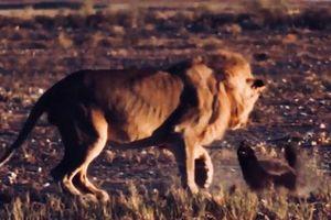 Clip: Sư tử 'chùn chân' trước sự kiên cường của lửng mật