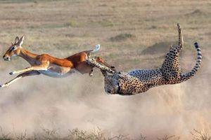 Ảnh động vật: Báo đốm 'tung mình' tóm linh dương, chó diễu hành...