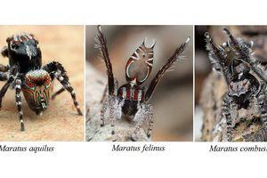 Kinh ngạc về 3 loài nhện 'tí hon' mới phát hiện ở Úc