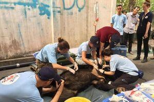 Ba cá thể gấu đen châu Á được bàn giao để bảo tồn