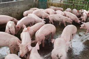 Dịch tả lan rộng, giá lợn hơi diễn biến khó lường