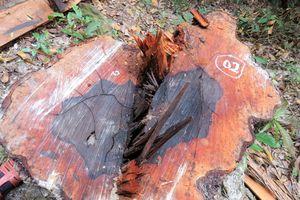 45 cây gỗ mun ở Vườn quốc gia Phong Nha - Kẻ Bàng bị lâm tặc cưa hạ