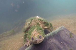 Vẻ đẹp thần tiên của rùa common snapping