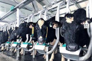 Vì sao Vinamilk chi hơn 1500 tỉ đồng thâu tóm sữa Mộc Châu?