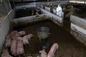 Hầu hết lợn từ Bắc vào Nam không có chứng nhận âm tính dịch tả lợn châu Phi