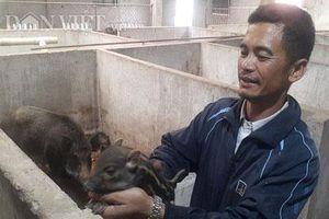 Ninh Bình: Nuôi lợn rừng chỉ cho ăn cây chuối, rau muống, kiếm nửa tỷ/năm