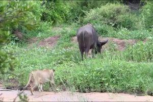 Clip: Trâu rừng bị bầy sư tử đoạt mạng vì quá ham ăn