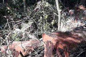 Rừng gỗ quý ở Phong Nha - Kẻ Bàng bị phá chỉ cách đồn biên phòng... 1km