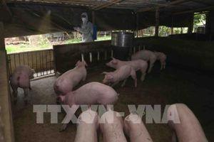 Người chăn nuôi có thể sẽ mất hàng ngàn tỷ đồng nếu dịch tả lợn châu Phi bùng phát