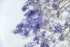 Tháng 3, Đà Lạt mơ màng mùa phượng tím