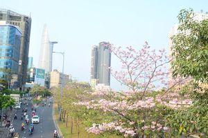 Hoa kèn hồng khoe sắc làm nao lòng giới trẻ Sài Gòn