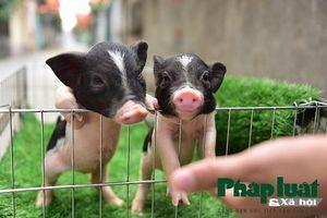 Độc đáo thú nuôi lợn cảnh mini của giới trẻ Hà Nội