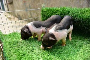 Lợn cảnh 2,5 triệu/con: Mốt thú cưng sang chảnh của quý cô Hà Thành