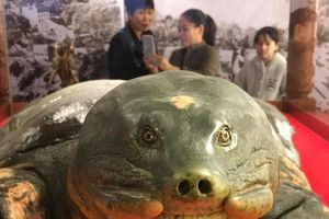 Cận cảnh tiêu bản cụ rùa cuối cùng của Hồ Gươm trưng bày ở đền Ngọc Sơn