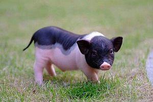 Ngộ nghĩnh những chú lợn cảnh mini - thú cưng đang rất hot ở Hà Nội