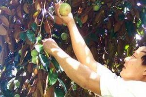 Phát triển cây ăn quả phía Nam: Nâng chất, không 'đua' số lượng