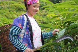 'Kiếm cơm' từ loài cây mọc rậm trong rừng, quả ra dưới gốc