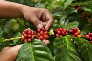 Giá cà phê hôm nay 16/3: Tiếp tục giảm nhẹ 100 đồng/kg so với hôm qua