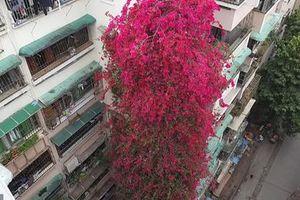 Giàn hoa giấy khổng lồ như thác đỏ khiến CĐM mê mẩn