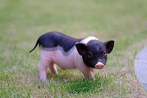 Bộ Nông nghiệp đề nghị xử lý nghiêm việc buôn bán trái phép lợn cảnh mini