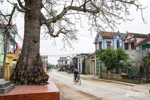 Cây gạo 150 năm tuổi được công nhận cây di sản ở Quỳnh Lưu