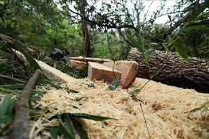 Khởi tố, bắt giam năm đối tượng khai thác gỗ rừng trái phép