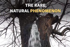 Kỳ lạ cây dâu già biến thành đài phun nước mỗi khi trời mưa