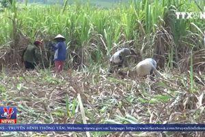 Áp thuế ATIGA với ngành mía đường