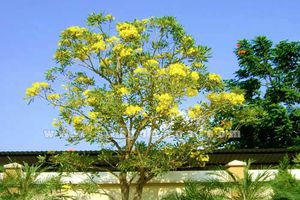 Dưới cây hoa chuông vàng nhà Nguyễn Ngọc Đấu mùa xuân
