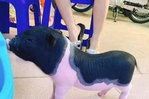 Bộ Nông nghiệp đề nghị kiểm soát, xử lý nghiêm lợn cảnh mini nhập lậu
