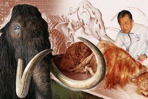 Nhà khoa học Nhật 90 tuổi muốn hồi sinh voi ma mút