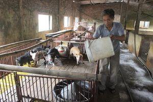Lây lan dịch tả lợn châu Phi từ thức ăn thừa: Nhiều người vẫn chủ quan