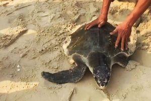 Ngư dân tự nguyện giao nộp rùa biển quý