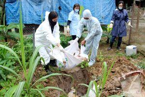 Huyện Diễn Châu tiêu hủy lợn ốm chết tại xã Diễn An