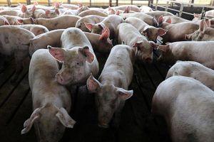 Cách nhận biết thịt nhiễm bệnh tả lợn châu Phi