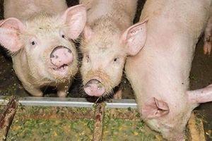 Hé lộ nguyên nhân chính gây dịch tả lợn châu Phi