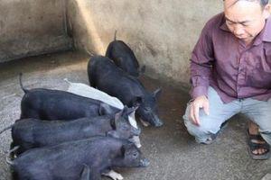 Nuôi lợn đen bằng ngô, rau, bèo và cây chuối, kiếm hơn 100 triệu