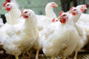 Hồng Kông ngừng nhập khẩu sản phẩm thịt gia cầm từ Đan Mạch