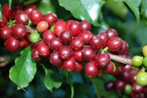Nông sản 19/3: Cà phê tiếp tục giảm giá