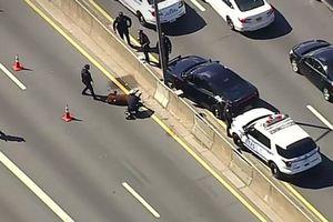 Bò lạc ra cao tốc Mỹ khiến cảnh sát phải can thiệp
