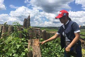 Gốc cây cày trong vụ phá rừng ở Bình Phước đã bị đốt