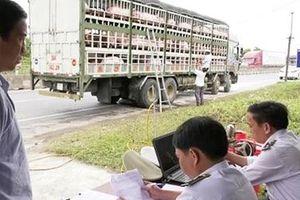 CSGT bám đường hỗ trợ kiểm dịch động vật, ngăn chặn dịch tả lợn