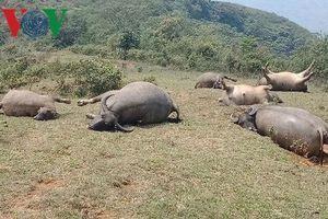Cả đàn trâu ở Lào Cai bị sét đánh chết la liệt trong cơn giông