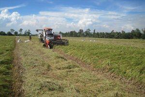 Gia tăng sản lượng lúa gạo dù tiêu thụ khó