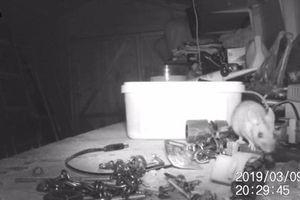 Kì lạ chú chuột dọn dẹp bàn làm việc cho ông lão như phim