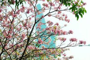 Ngắm hoa kèn hồng khoe sắc trên phố Sài Gòn