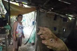 Tâm trạng của người chăn nuôi ở Huế khi dịch tả lợn châu Phi xuất hiện